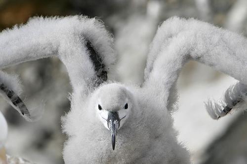 AlbatrossChickEd.