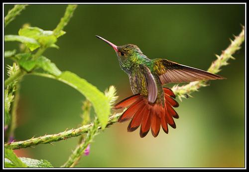 Rufous-tailed hummingbirdEd