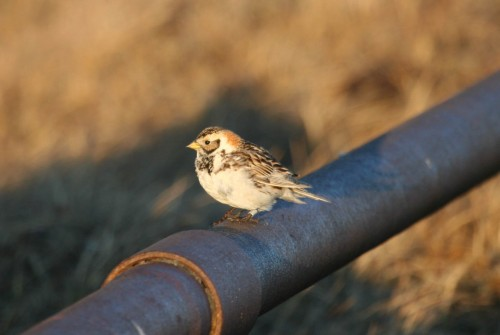 Pic1female longspur