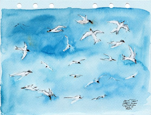 Arctic Tern field sketch