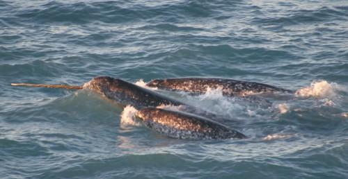 NOAA Ocean Explorer: Tracking Narwhals in Greenland