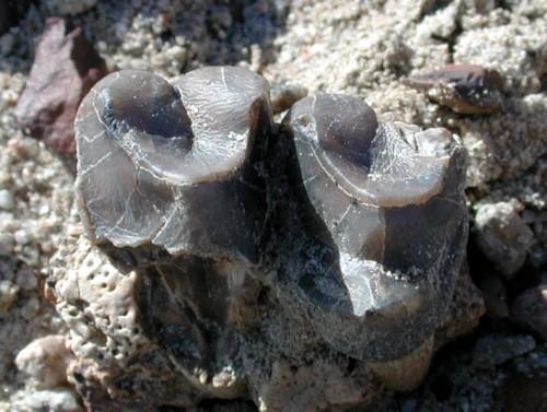 Eberle_Fossils4