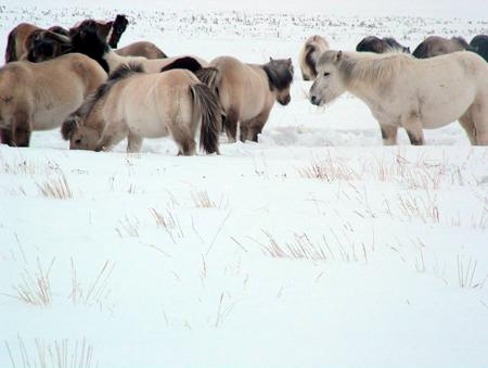 Yakutian Horses
