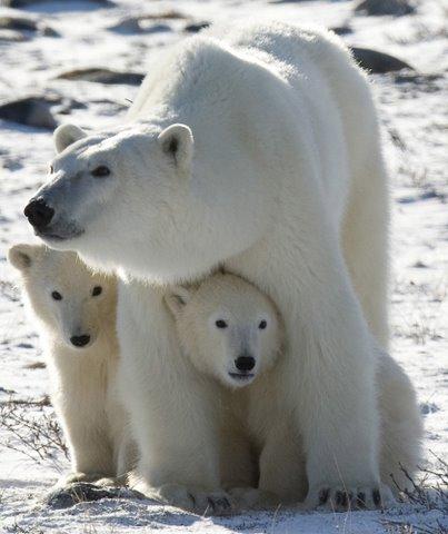 AP Polar Bears Concern