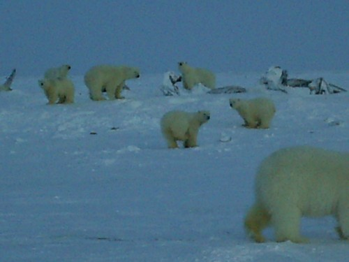 PFS Maintenance manager Les Copeland stumbled upon a polar bear feast in Point Lay, Alaska. Photos courtesy Les Copeland