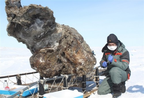 A May 13 photo provided by the Yakutsk-based North-Eastern Federal University shows a researcher working near a partial carcass of a female mammoth found on a remote island in the Arctic Ocean. Russian scientists claim that blood has been extracted from the carcass. Photo: Semyon Grigoriev