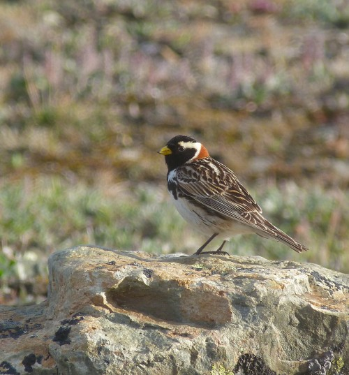 An adult male Lapland Longspur.