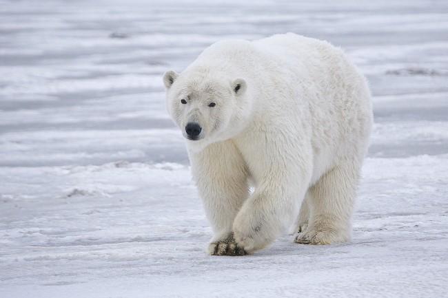 Polar bears are the largest Arctic predator. Photo Alan Wilson (http://www.naturespicsonline.com)