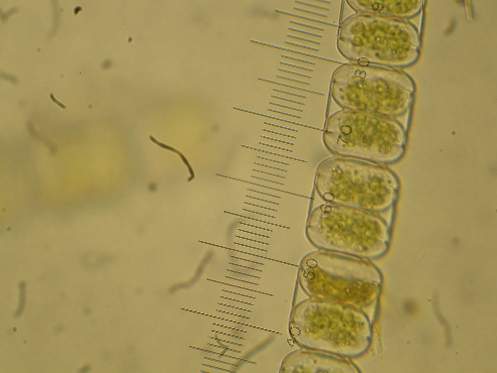 The role of Arctic sea ice algae (pictured here) in region's food web is the focus of post-doctorate researcher Craig Aumack's ongoing project in Barrow Alaska. Photo: Craig Aumack