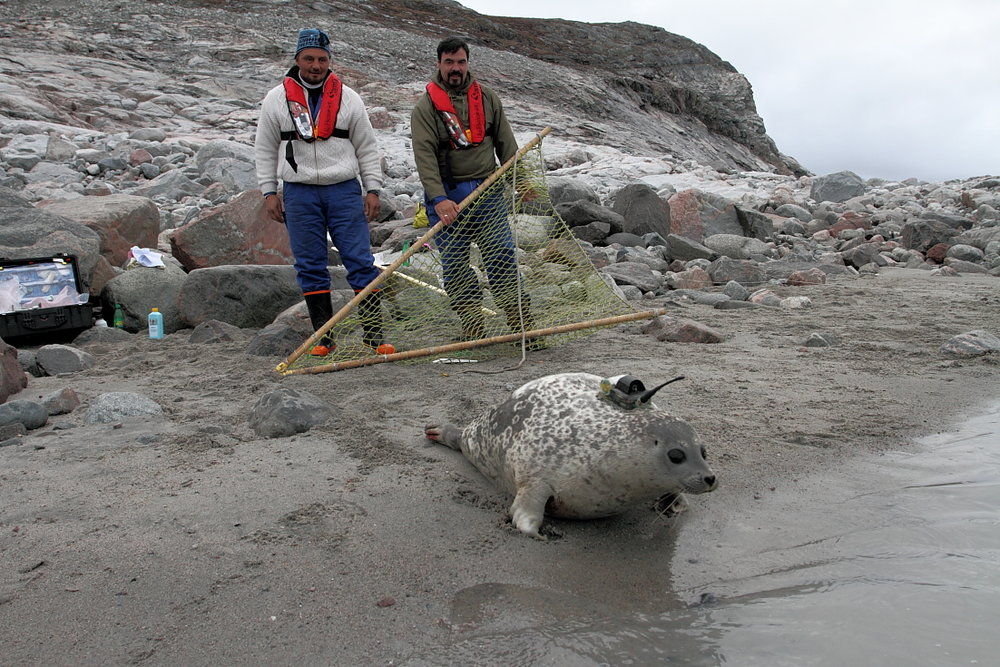 The Hollands work with colleagues at the Greenland Department of Natural Resources who are experts at seal handling. Here, TK and TK are pictured