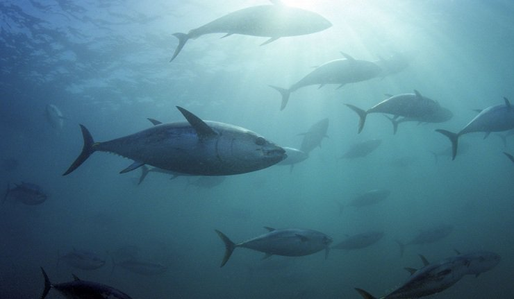 The discovery of blue fin tuna off the coast of Greenland suggests the fish's adaptation to warming ocean temperatures. Photo: Rex Features, Voice of Russia