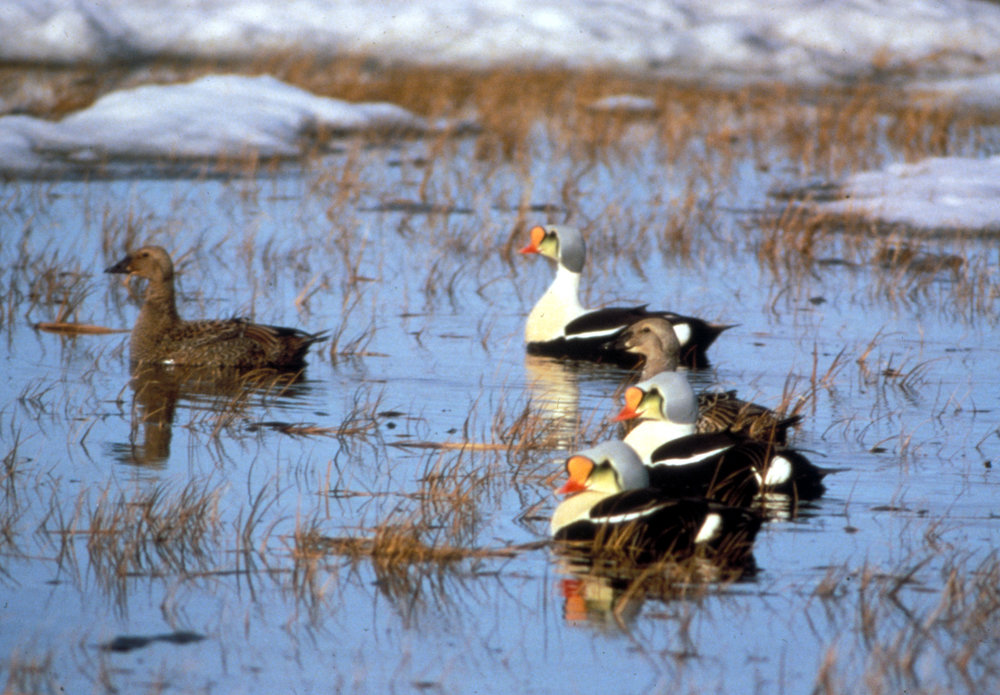 King eiders, a commonly hunted bird in the Arctic, is part of the focus of Prof. Jim Lovvorn's research on tribal rights, conservation, and oil development in the Arctic. Photo: Wikipedia