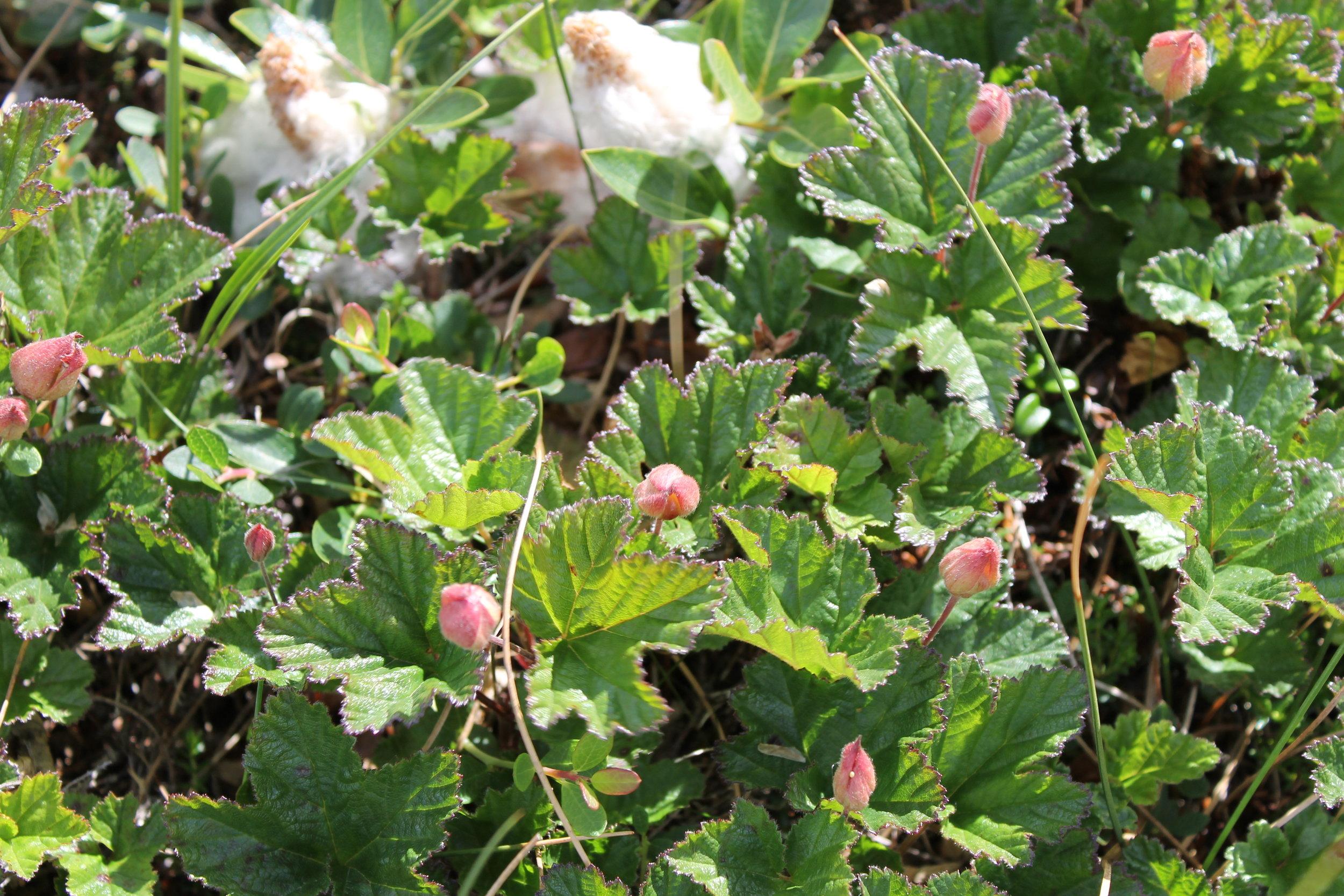 Rubus chamaemorus. Photo: Kevin Jernigan