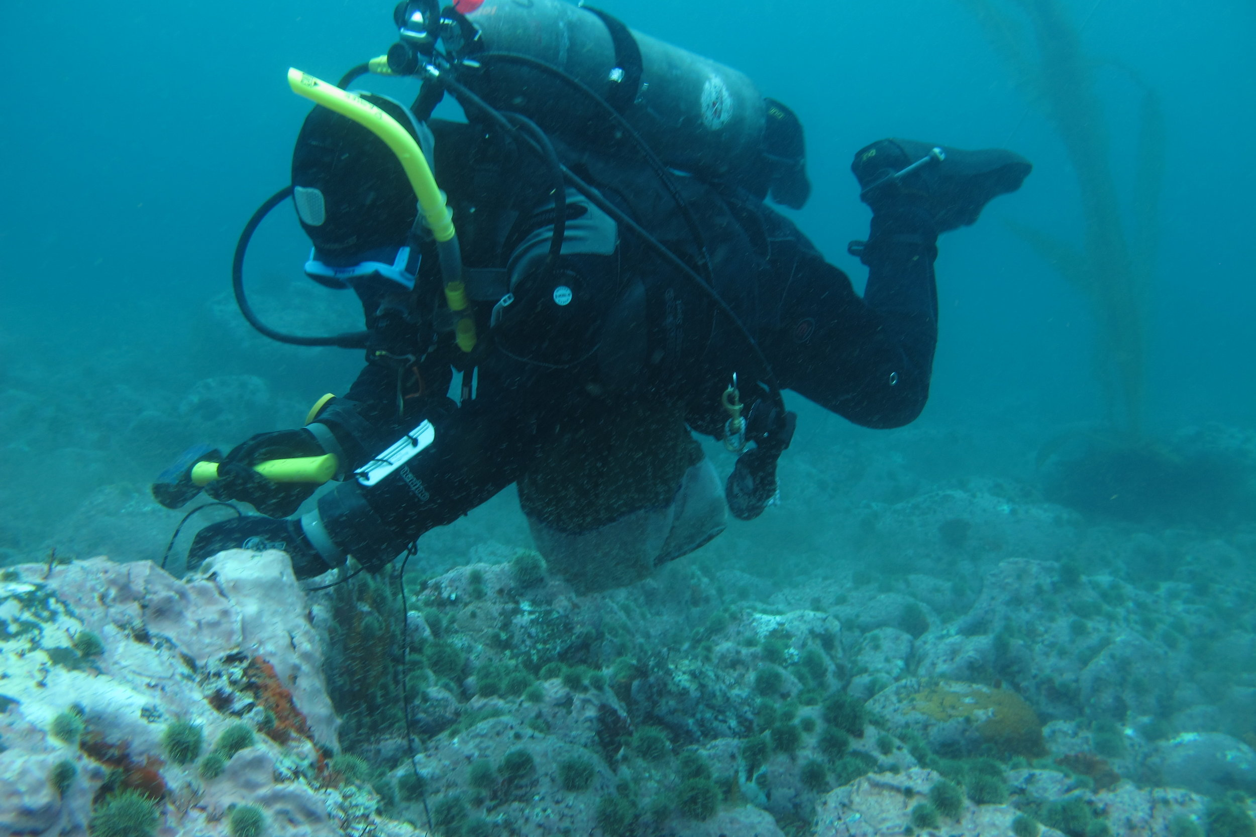 University of Maine scientist Dr. Douglas Rasher collects samples of the reef-building alga Clathromorphum nereostratum for laboratory analysis. Photo: Alexandra Ravelo