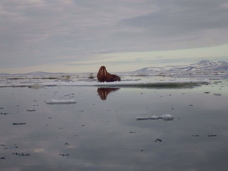 A walrus is seen during a spring hunt near Wales. Researchers at the University of Alaska Fairbanks are talking to Alaska Natives and elders about sea ice to learn more about current melting trends and how it impacts life in the Arctic. Photo: Amos Oxereok
