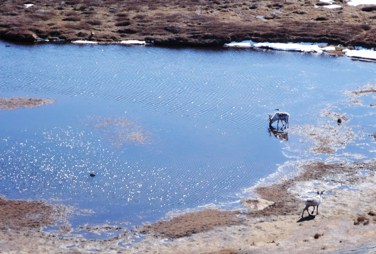 Caribou drink from a pond in western Greenland where mosquitoes emerge in summer. Photo: Lauren Culler