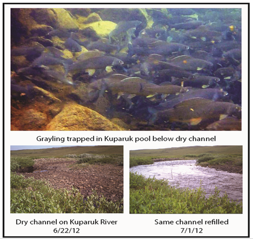 The top image shows grayling crowded together while trapped in a pool below a dry channel in the Kuparuk River. The two figures below show the extremes of the dry and wet conditions in Arctic Alaska. Graphic: Cameron MacKenzie