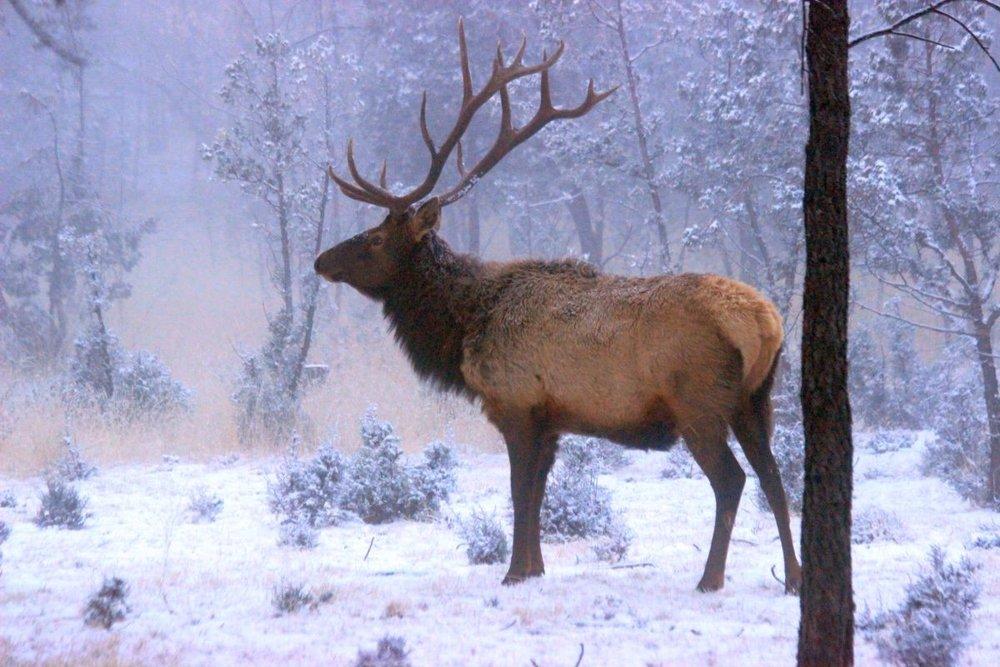 Bull Elk Winter Ruidoso.jpg