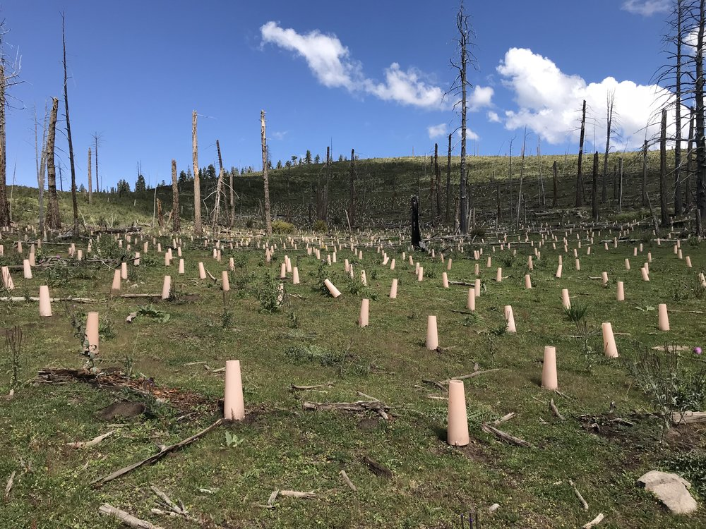 Photo: Seedlings planted this year in the area burned by the 2000 Scott Able Fire on the Sacramento Ranger District.