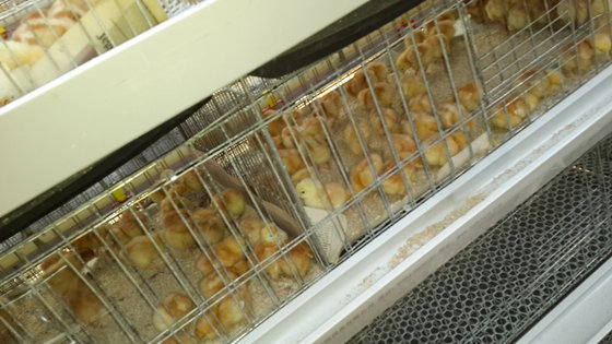 Pullet cages.
