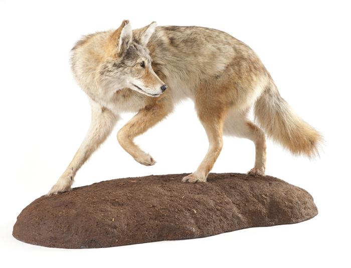 coyotelookingback700.jpg