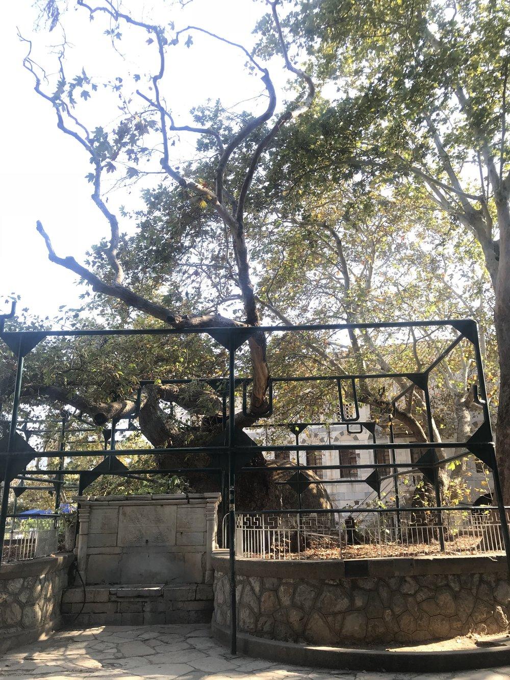 Tree of Hippocrates.JPG