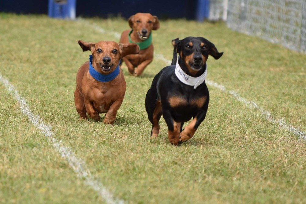 Wiener dog races 2017 13.jpg