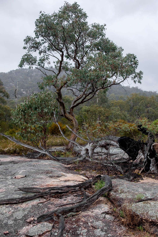 Lone Tree, Girraween NP [GIR17]