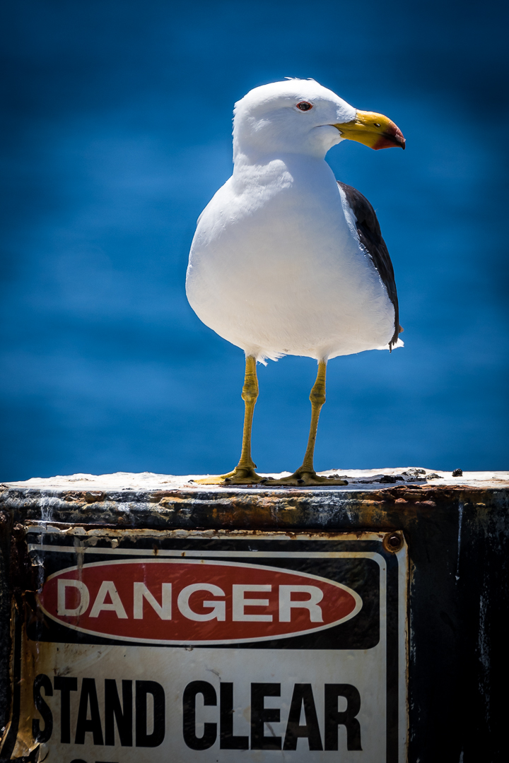 Pacific Gull gives no F#$^ for signs