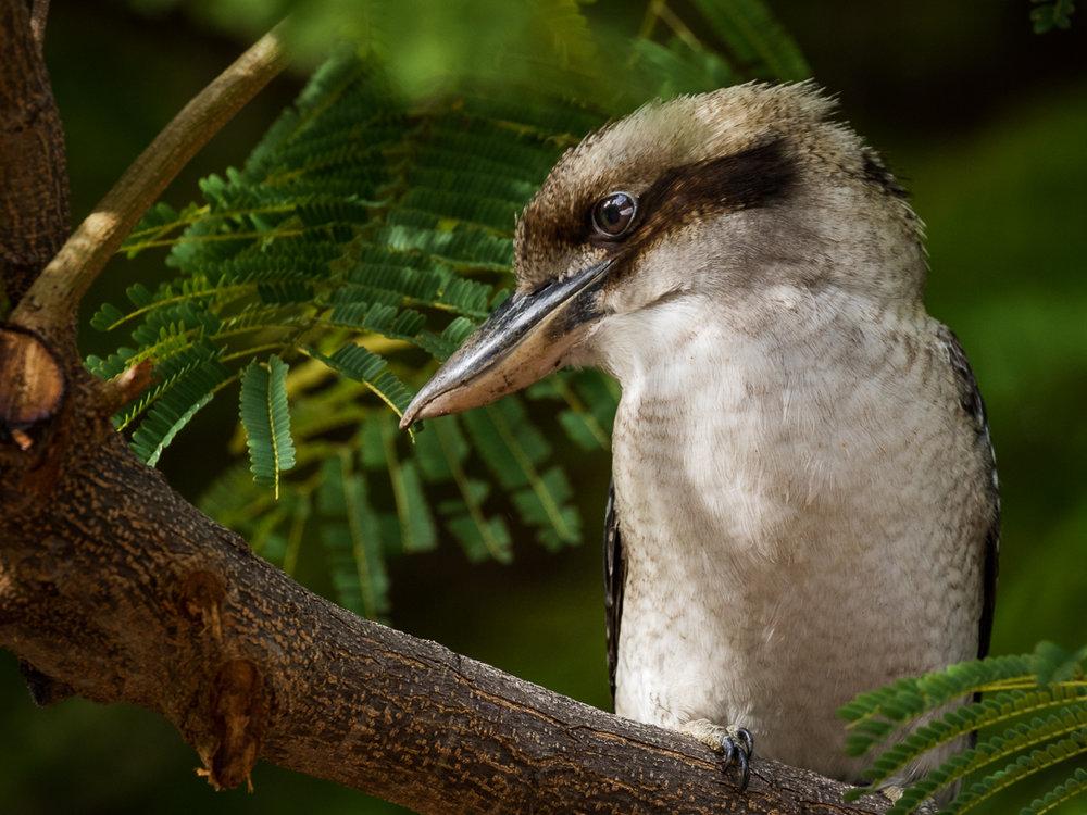 (Wild) Laughing Kookaburra