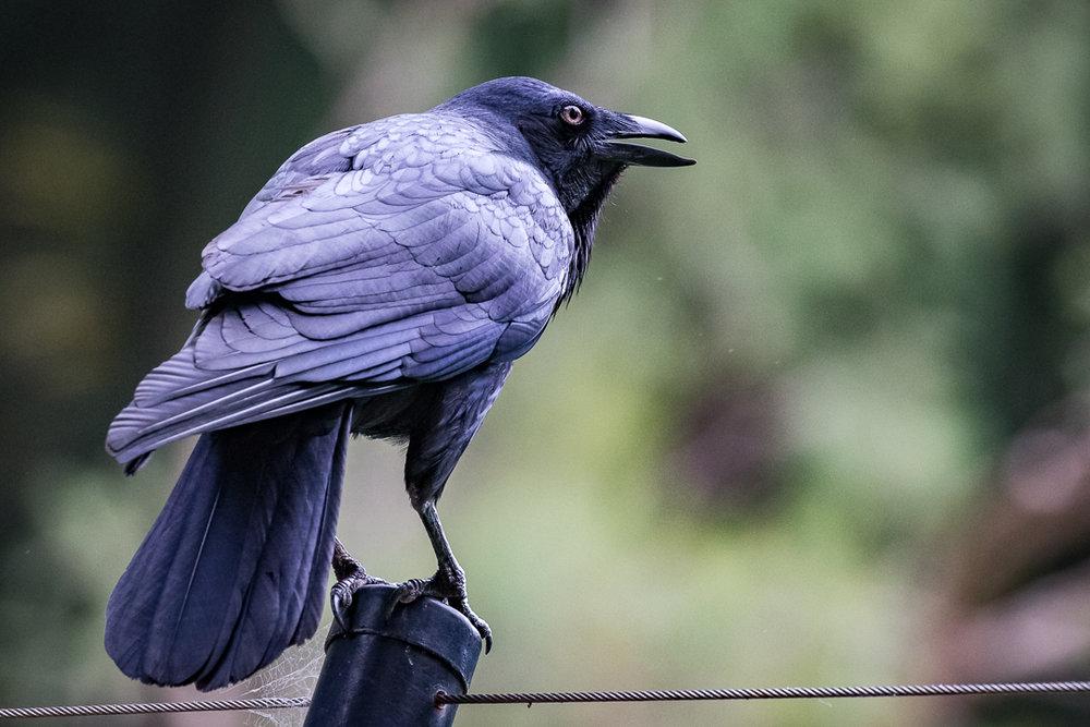 (Wild) Raven