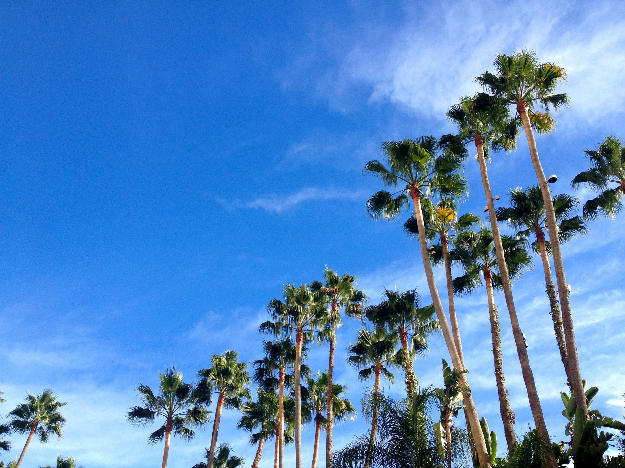 Some true Los Angeles palm trees.