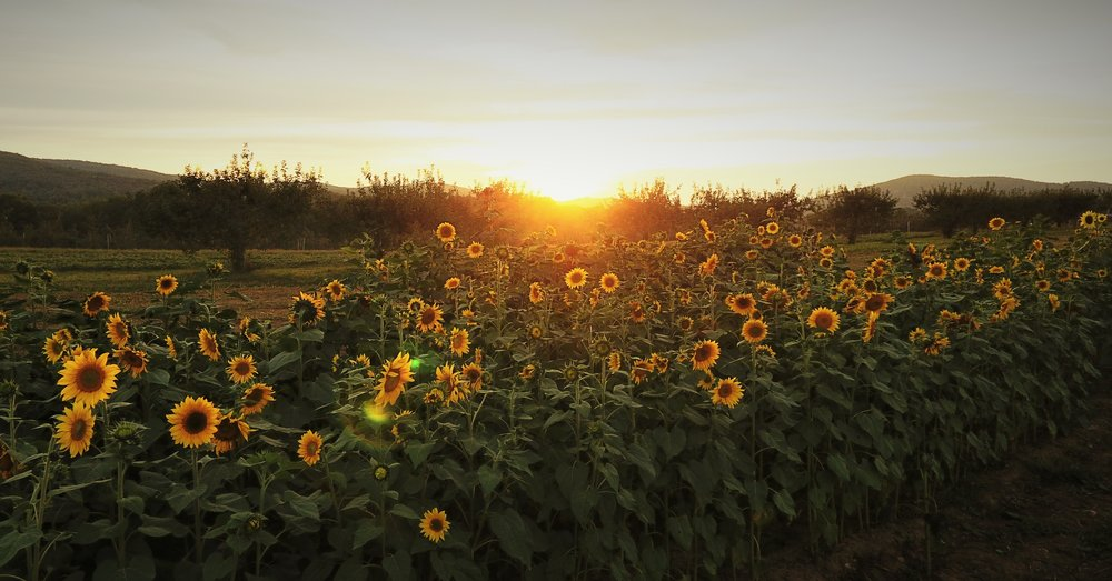 Sunflowers 1 (1).jpg