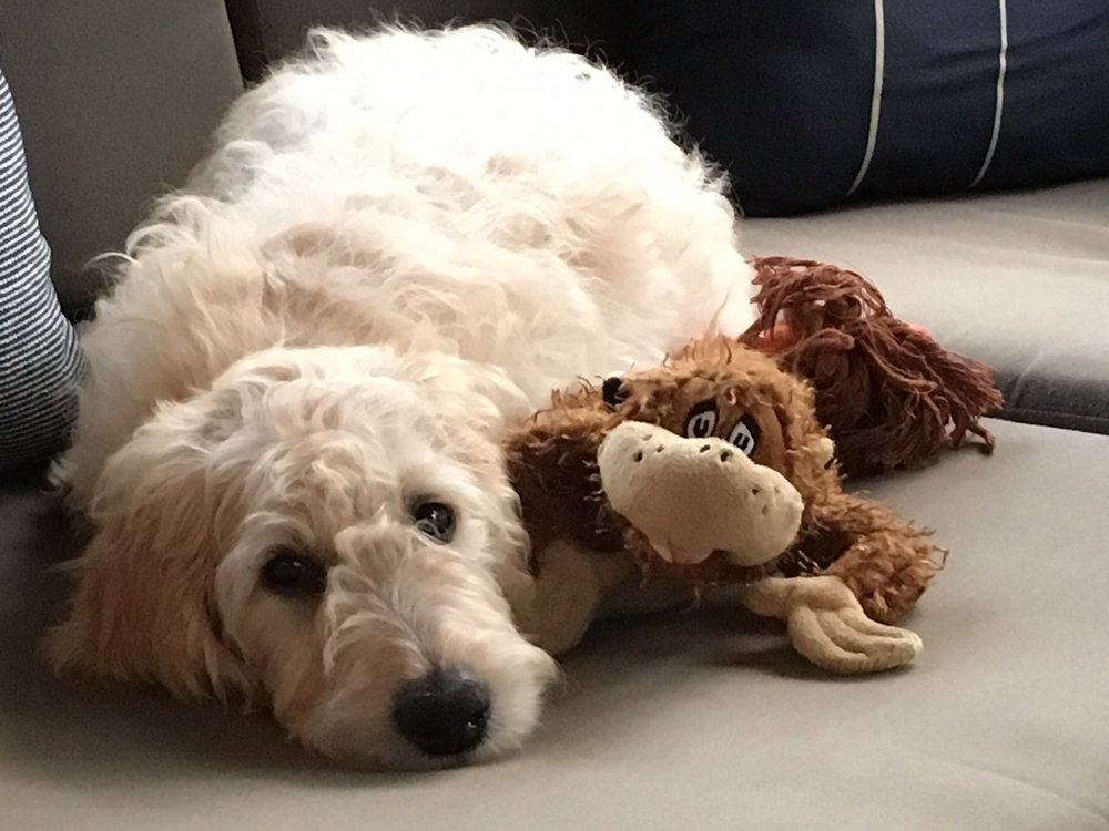 Sadie, the Cowden's GoodenDoodle