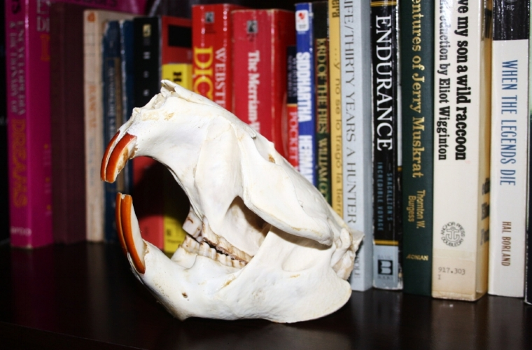 A cleaned beaver skull on display. A piece like this will always remind you of memorable days in the field.