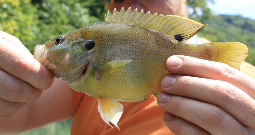 A typical Green Sunfish