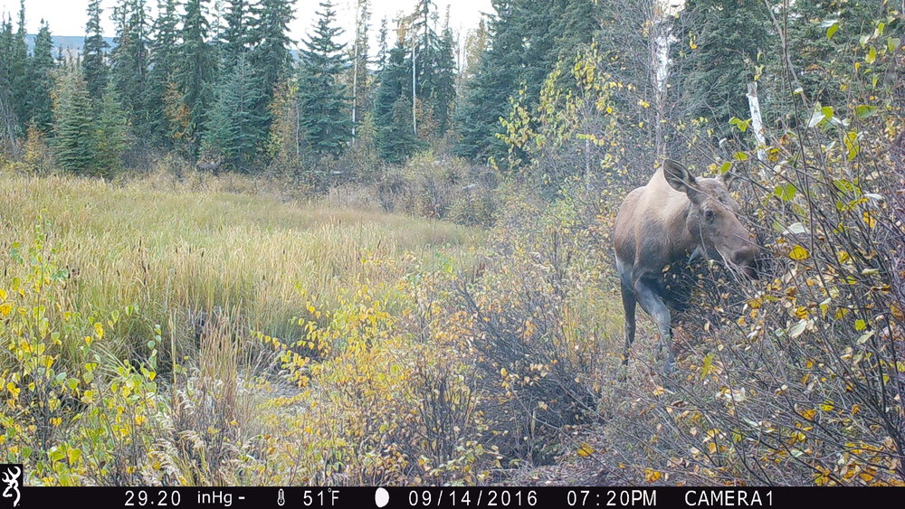 AK - This picture from Fairbanks, AK is pretty cool because of the second moose that is hidden in the background of the picture. Scan the edge of the wetland until you come to the left 1/3 of the picture. - Ross Dorendorf and Madi McConnell