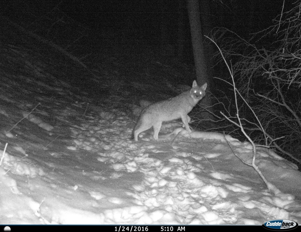 PA - A great picture of a coyote moving through the snowy hills of NW PA - Dan Muntz
