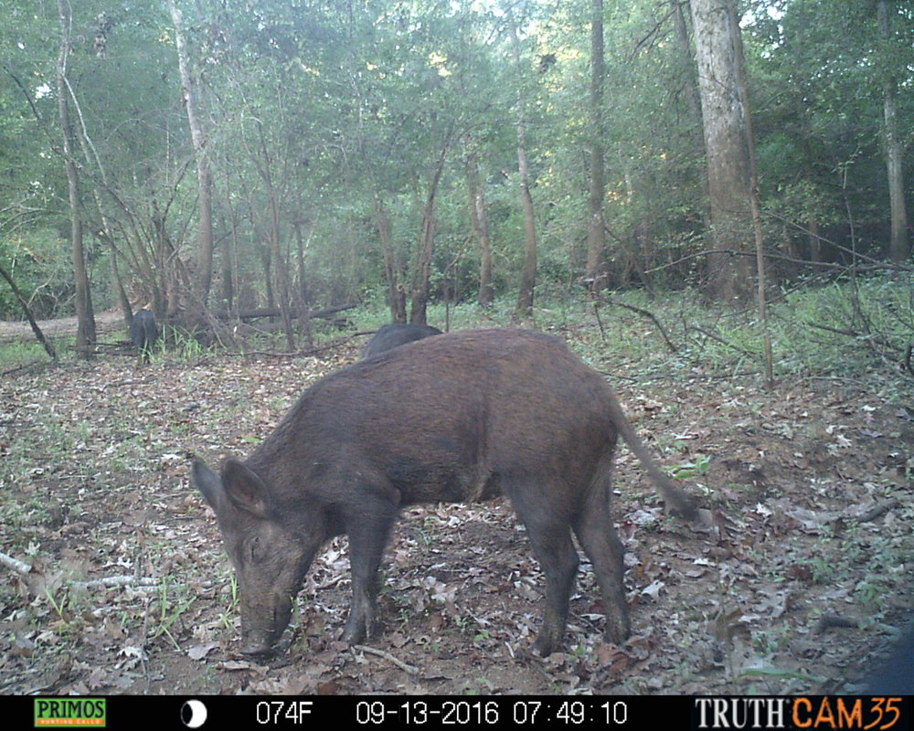 TX - I just like this picture because it is an awesome close-up of pig. A large group of them worked the same area for quite some time. There was quite a bit of forage on the ground in this area and the hogs were loving it. - Rob McConnell