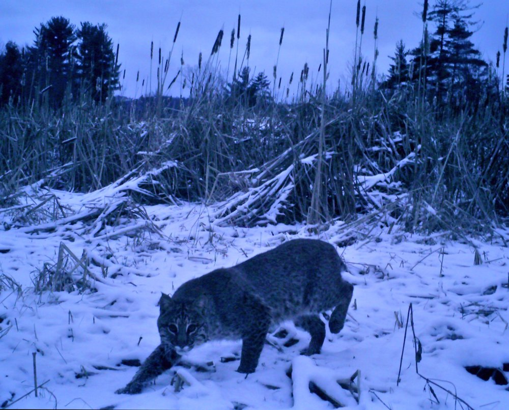 PA - This picture is from several years ago. I caught this big tom on my cameras several times throughout the year. He frequented the same patch of cattails in a swampy area. I was lucky enough to call him in and harvest him during PA bobcat season. He weighed about 54 lbs. - Rob McConnell