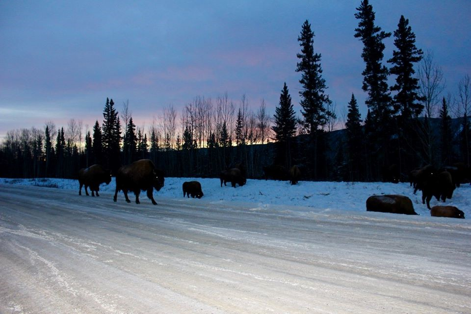 Plentiful roadside bison.  Northern BC.