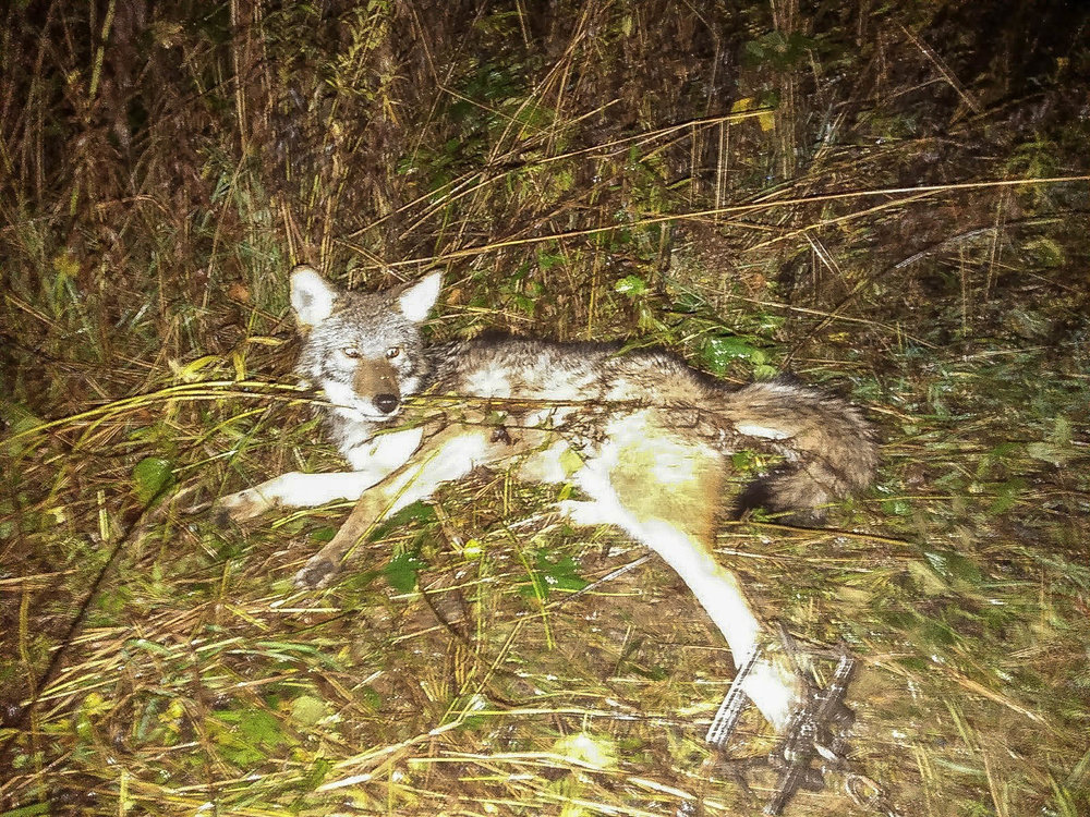 My first coyote of the season.
