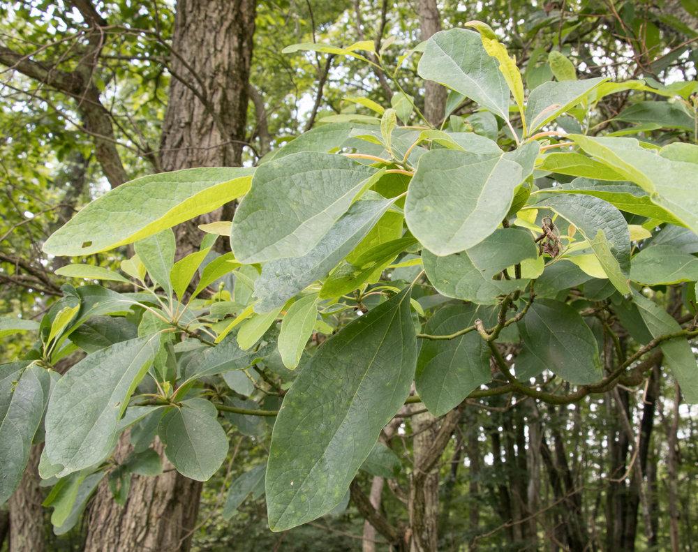 Sassafras leaves in the summer
