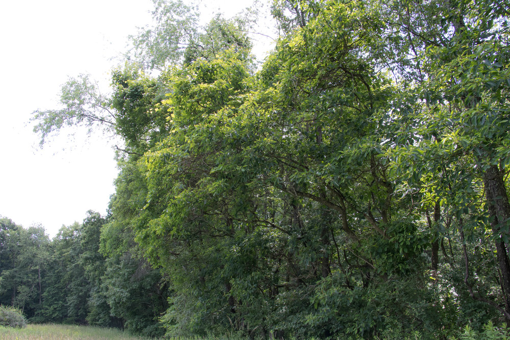 Sassafras trees are fairly common and can be found at the edges of clearings or meadows.