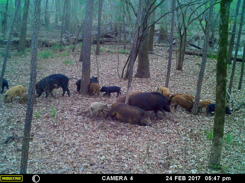 A large group of young pigs and sows vigorously rub themselves on the trunk of the loblolly pine