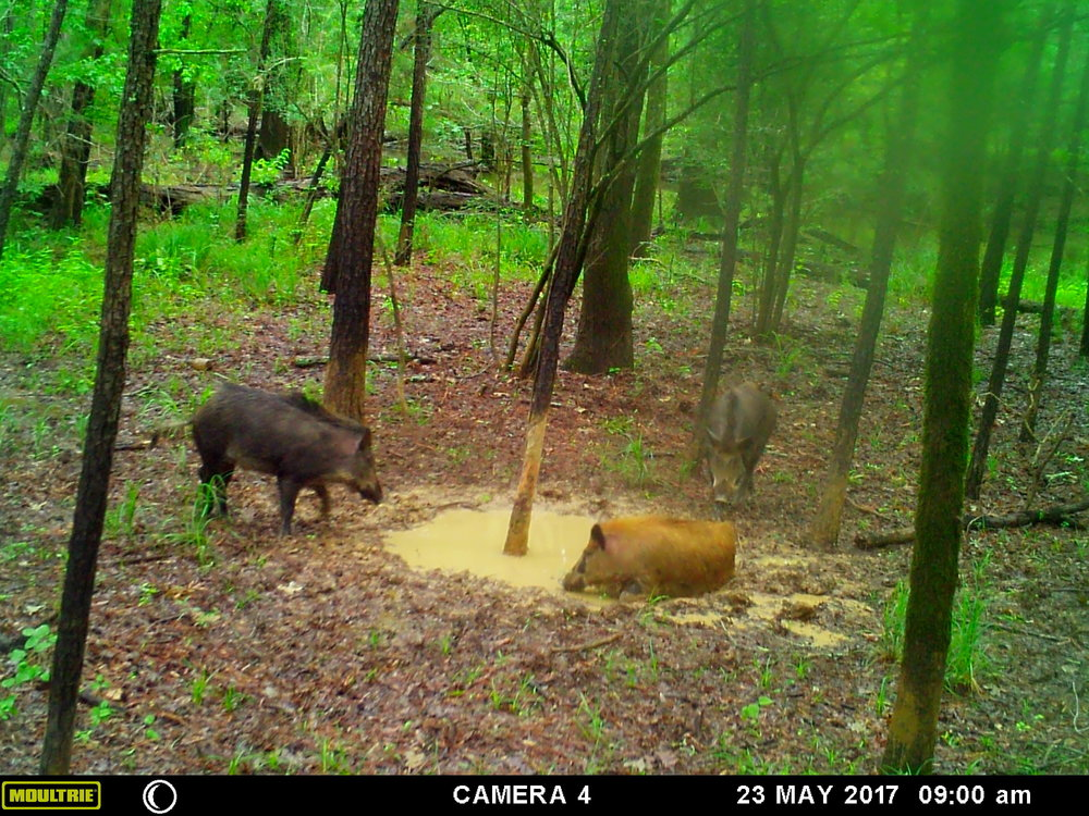 A couple of pigs visit the wallow to cool off in the hot summer