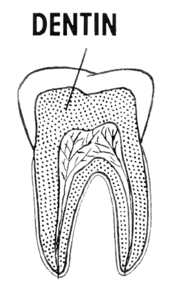 Dentin rests under the enamel of teeth,  Simple English Wikipedia