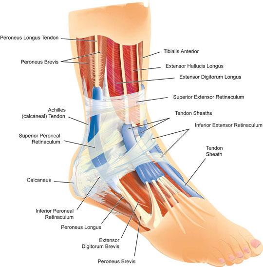 ankle-anatomy.jpg