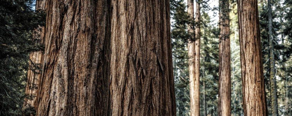 Sequoia - California