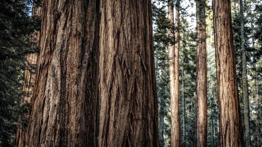 Sequoia<strong>- entrez -</strong>
